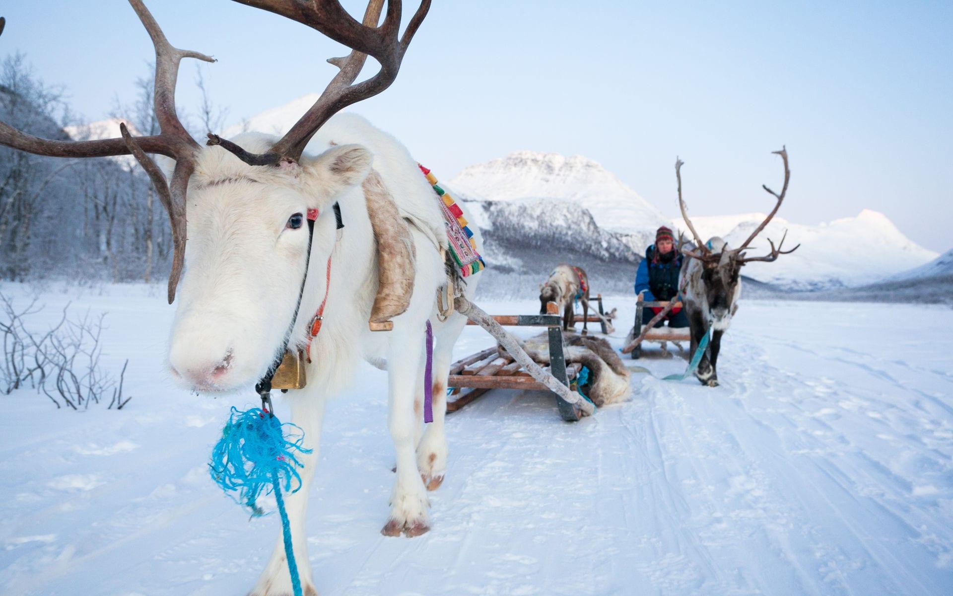 reindeer sledding white reindeer