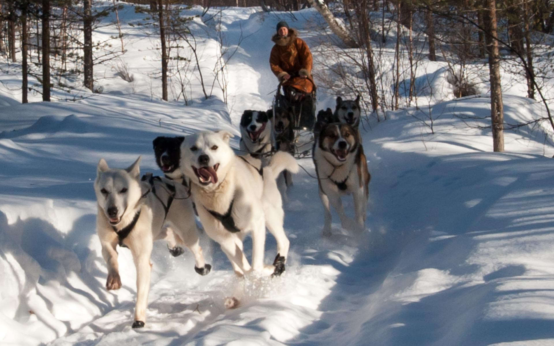 sled dogs running Engholm arctic long weekend