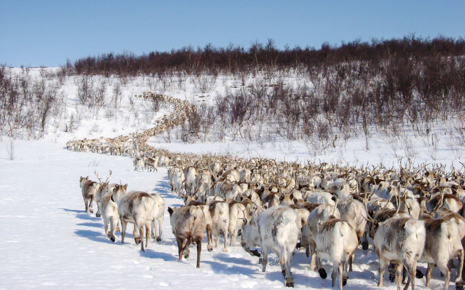 reindeer migrating lapland