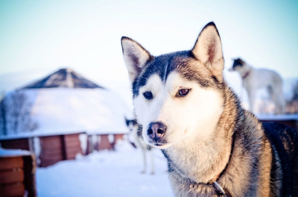 Husky in winter looking at camera