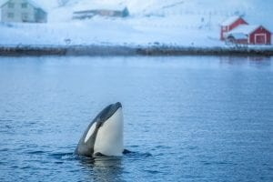 whale watching cruise in tromso