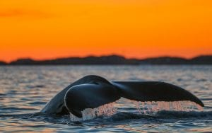 whale tale red sky arctic