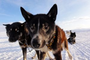 Two huskies curiously looking into camera during spring dog sledding safari in Svalbard