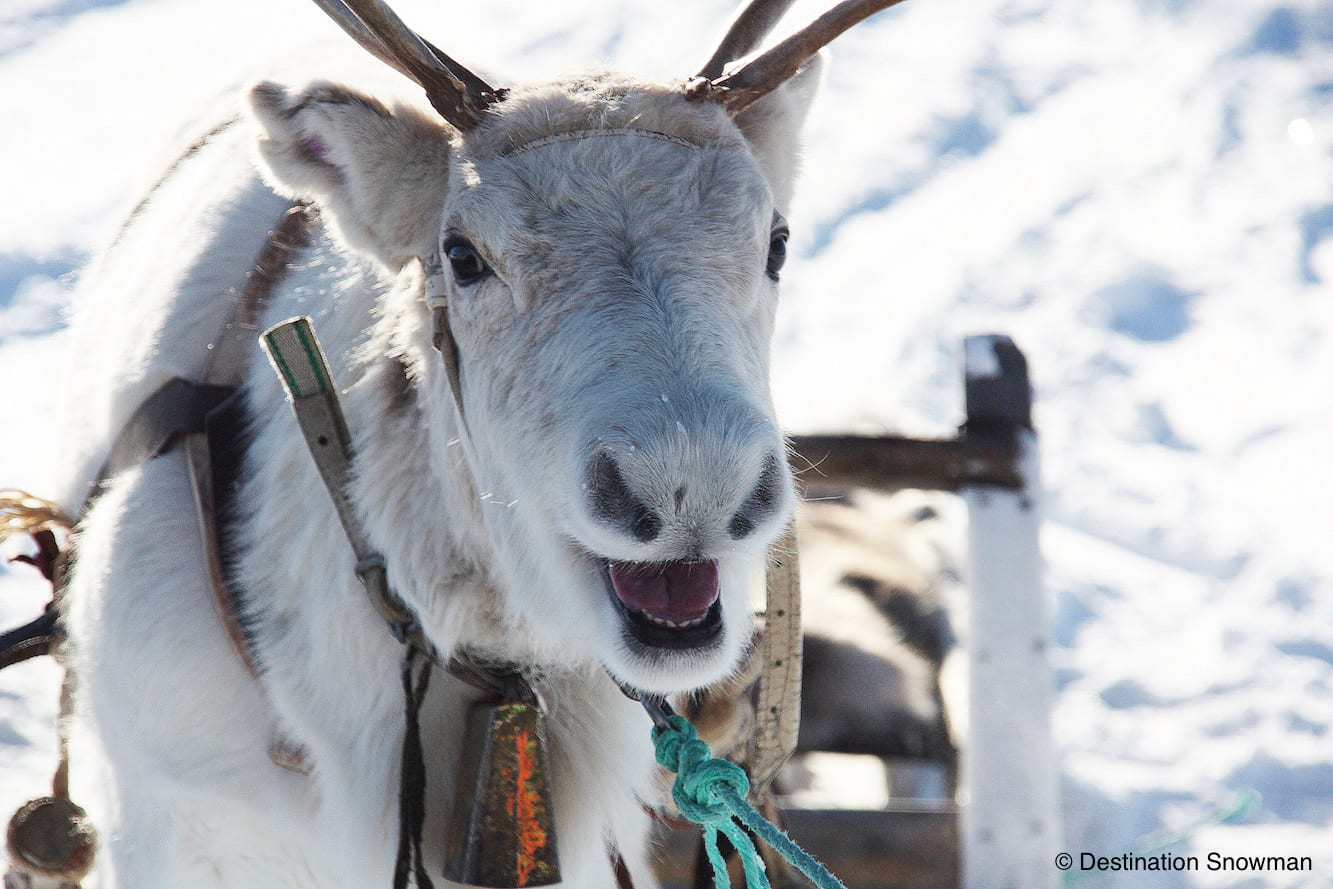 smiling reindeer snow