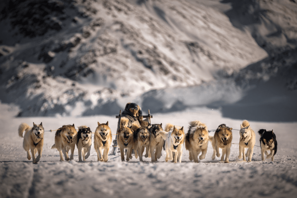 greenland dog sledding husky dogs
