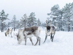 reindeer in the snow eating looking down looking at camera with trees sami storytelling